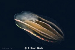 This ctenophore ( lat.  Leucothea multicornis ) show her ... by Roland Bach 